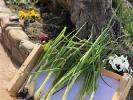 ¡Día de cebollas, Semana Santa y limpieza!_14